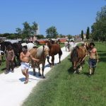 Cavalli portati verso la Serra Cento Fiori di Rimini