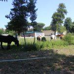 Cavalli pascolano accanto al vivaio La Serra Cento Fiori a Rimini